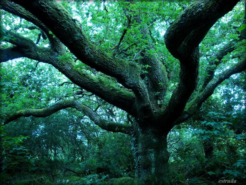 estruda- the great oak
