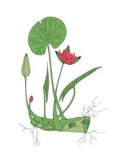 giulia incani-maggio-ninfea