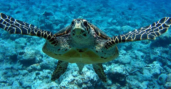 tartaruga-embricata