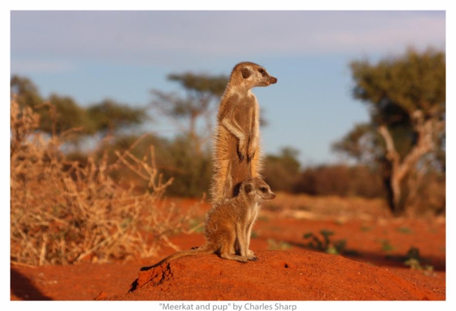 suricati
