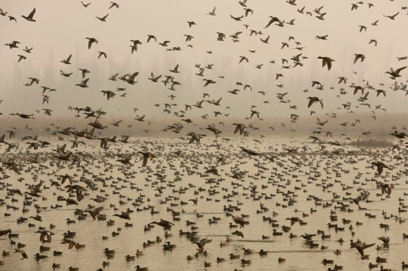 Migratory birds fly above wetlands in Hokersar, about 16 kilometers (10 miles) north of Srinagar, Indian controlled Kashmir on December 6, 2015. Photo: AP