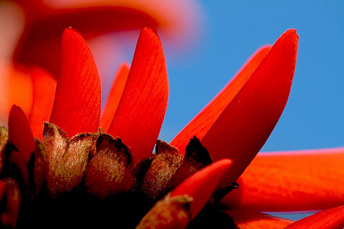 lalbero-del-corallo-erythrina-caffra
